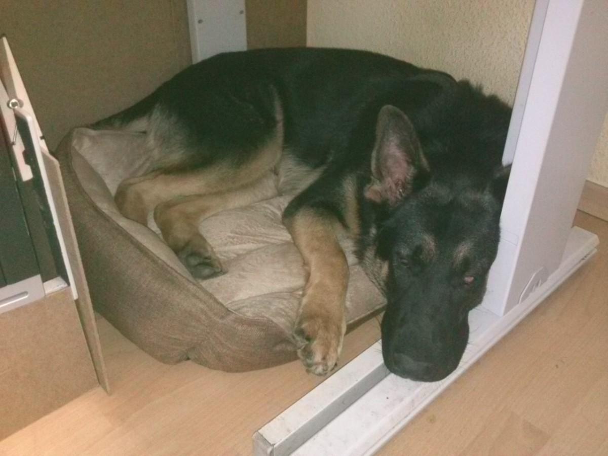 Büroschlaf im neuen Hundebett